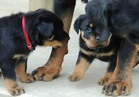ghentnr Beautifully Rottweiler Puppies ready now AKC REGISTERED,