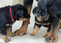 sfvbfngm Beautifully Rottweiler Puppies ready now AKC REGISTERED