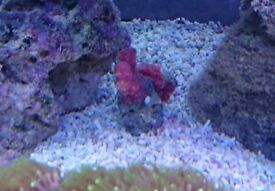 Chillie coral
