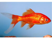 Red comet gold fish cold water pond fish