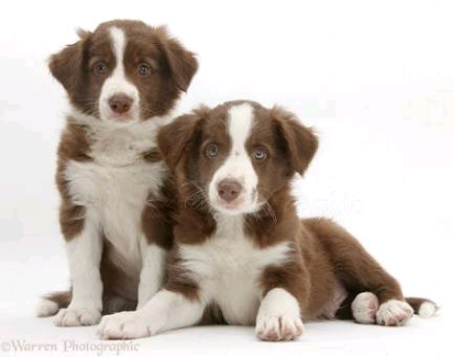 Wanted: WTB Chocolate Border Collie Puppy