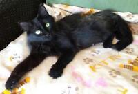 "Adult Female Cat - Domestic Medium Hair-black: ""Milly"""