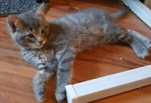 """Baby Male Cat - Domestic Short Hair: """"Kosmo"""""""