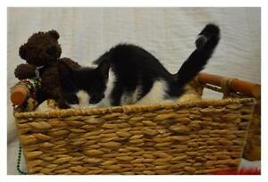"""Young Female Cat - Domestic Short Hair: """"Jersey"""""""