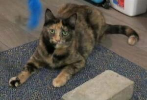 "Adult Female Cat - Tortoiseshell: ""Sophie"""