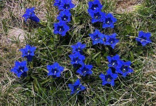 Blauer Enzian frostharte Blumen winterharte Pflanzen für den Balkon Garten Topf