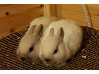 Netherlands dwarf bunnies smokes and seal point available for viewing