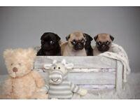 Kc registered pug puppies 😍 ❤