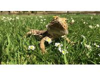 3 Year old liveley bearaded dragon, comes with a complete vivarium set and everything you need