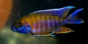 Jacobfreibergi Fry African Cichlids for Sale $2.5 Willetton Canning Area Preview