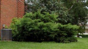 Evergreen Shrub Removal