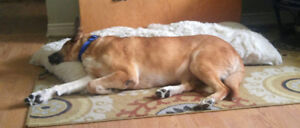 ***SCRAPPY URGENTLY NEEDS A FOSTER***