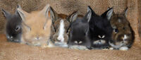 LazyHare has lionheads ready to reserve ONE LEFT
