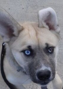 Tipsy - Siberian Husky mix - Adoption Pending