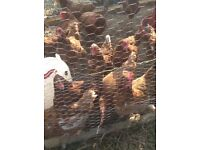 Loman s hens collection only from torquay
