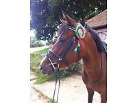 14.2 Arabx mare for sale