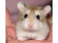 Mini hamster-Roborovski with cage