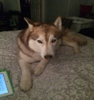 Missing Dog - Siberian Husky
