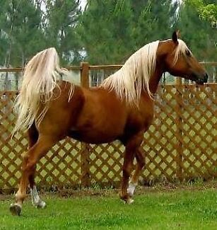 Wanted: Wanted; reg QH mare