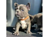 French bulldogs puppies - ONLY 4 girls left