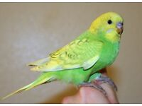Green and yellow budgie free to good home