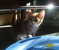 """Baby Male Cat - Domestic Short Hair: """"Andyapplication Pending)"""""""