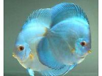 Blue diamond discus cichlids tropical fish