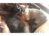 2 burmese cats - free to a loving home