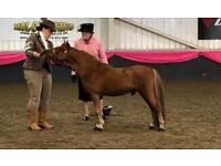 miniature horse colt 4yrs