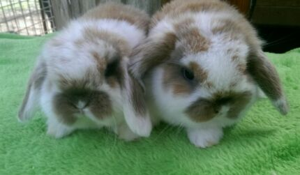 SPECIALIZING IN QUALITY MINI LOPS, BOYS HUTCH START UPDEALS COMBO Londonderry Penrith Area Preview