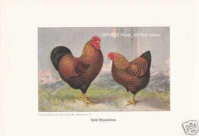 Gold-Wyandottes Hühnerrassen Farbdruck 1925 Reprint