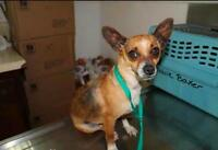 "Adult Female Dog - Chihuahua: ""Hot Tamale"""