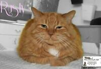 "Adult Female Cat - Domestic Medium Hair-orange: ""Rusty"""