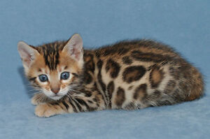 Amazing Bengal kittens available (females) ♥ ♥ ♥
