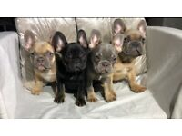QUALITY Lilac Tan Lilac Fawn French Bulldog puppies triple carrier