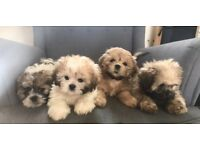 Stunning litter of Maltese X Karashishi Shih Tzu puppies