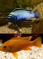 African Cichlids Fish and breeding Pairs