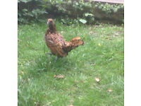 Golden sebright hen - SOLD