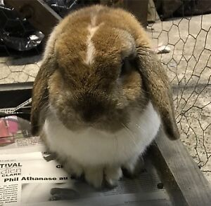 FREE CUTE LOP-EARED BUNNY FOR LOVING HOME!