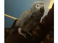 Congo African Grey Super Tame & talking with new cage