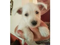 west highland terrier puppy for sale LAST GIRL