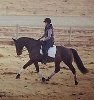 PRICE DRASTICALLY DROPPED: Gorgeous Dressage/Eventing Prospect