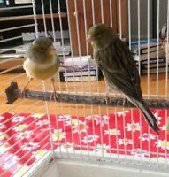 Canary, serin