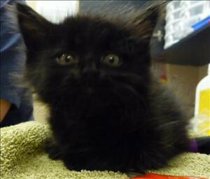 """Baby Male Cat - Domestic Long Hair: """"Horatio"""""""