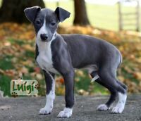 LOOKING FOR ITALIAN GREYHOUND PUPPY