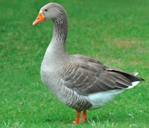 10 month old Toulouse Gander for sale
