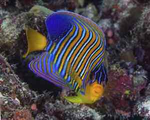 Large regal angelfish Cannington Canning Area Preview