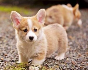 WANTED: Pembroke welsh corgi puppy Campbelltown Campbelltown Area Preview
