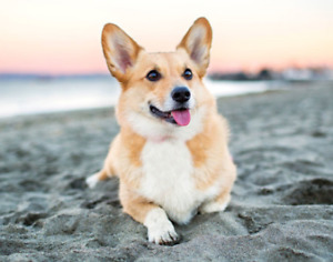 Corgi Wanted for 2 Hour Playdate