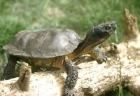 Have you seen any Wild Turtles lately (last 3 years)